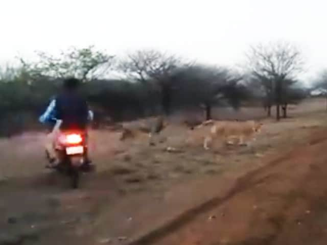 Video : Bikers Chasing Lion, Lioness In Gujarat's Gir On Video, Probe Ordered