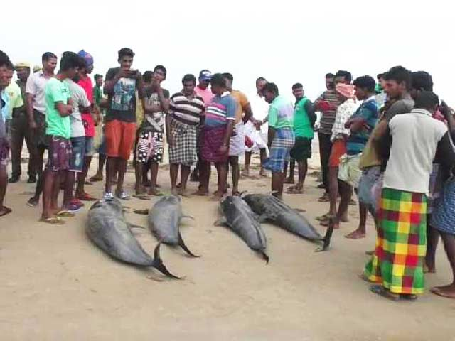 Video : 20 Dolphins Wash Up On Tamil Nadu Beach. How Fishermen Tried To Save Them
