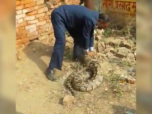 Video : Watch: Massive 12-Foot Python Captured From Allahabad College