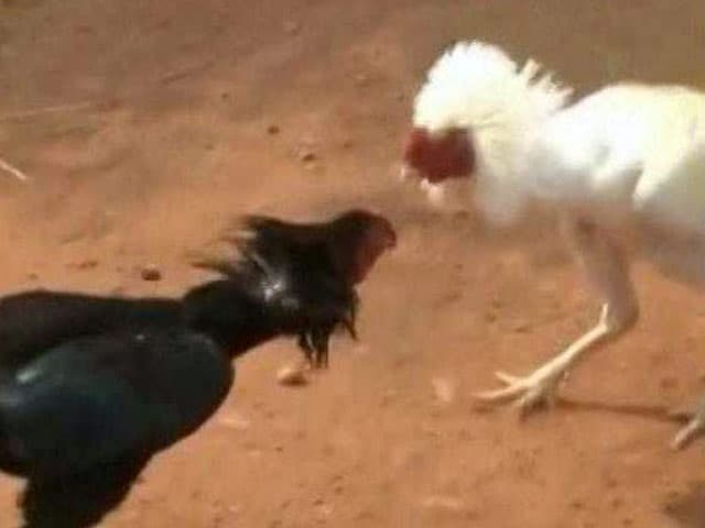 Video : Rooster Fights Turn Bloody, Multi-Crore Gambling Continues Despite Court Orders
