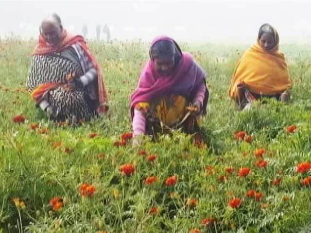 Video : महिलाओं की हिम्मत ने उबारा, सामूहिक खेती से संवरी जिंदगी