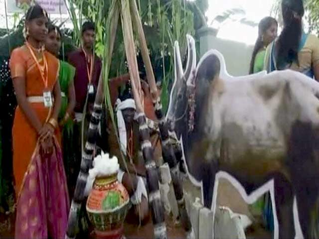 Video : Tamil Nadu Celebrates Pongal After Recent Good Rains For Farmers