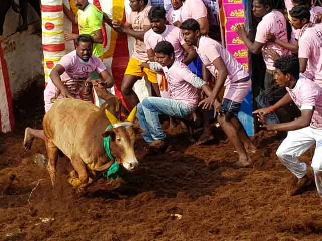Video : 3 More Deaths At Jallikattu Events Amid Big Prizes Offered By Tamil Nadu Leaders