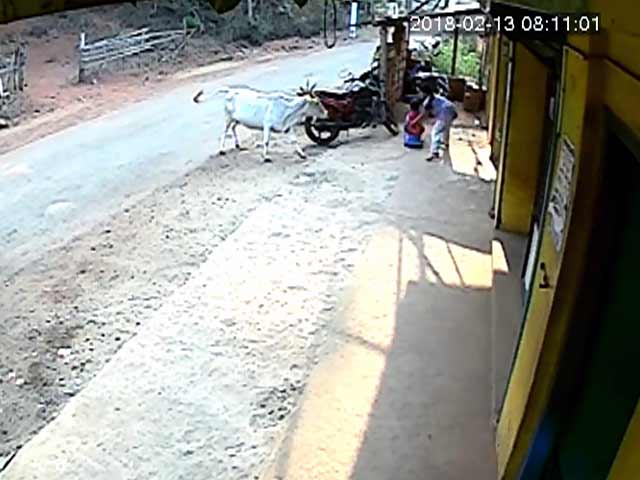 Video : On Camera, Girl Saves Saves 4-Year-Old Brother As Cow Charges At Them