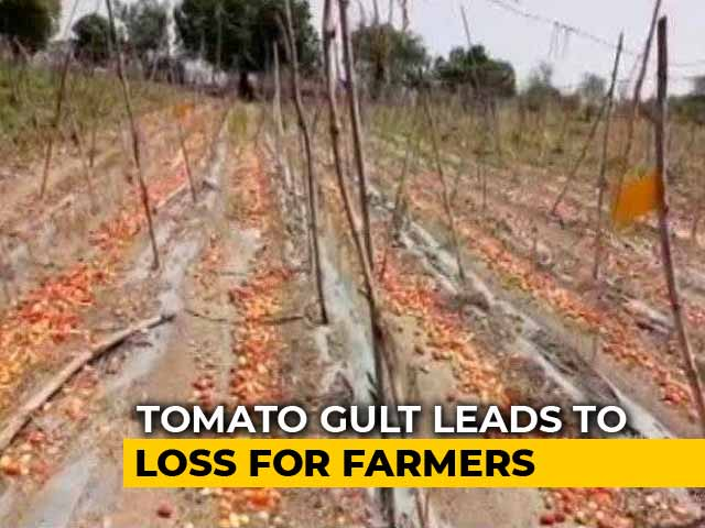 Video : Amid Tomato Glut, Maharashtra Farmers Worry About Recovering Costs