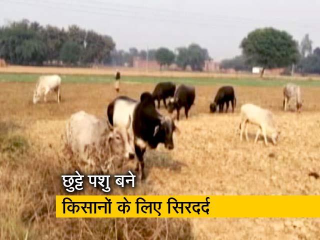 Videos : यूपी में आवारा जानवरों की फौज बरबाद कर रही फसलें