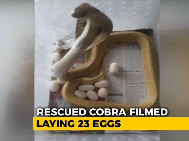 Rescued Cobra Filmed Laying 23 Eggs In Odisha's Bhubaneswar