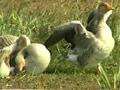 Video: सफारी इंडिया : दुनियाभर के पक्षियों का घर है भरतपुर