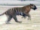 Video: बाघ बचाओ मुहिम का इतिहास