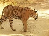 Video : The man eating Tigress of Ooty