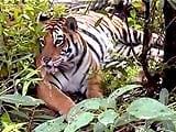 Video: बाघ बचाओ अभियान : बसावट की राह पर पन्ना नेशनल पार्क