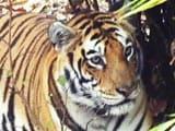 Video: बाघ बचाओ अभियान : बसावट की राह पर पन्ना, भाग-2