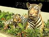 Video: बाघ बचाओ मुहिम : वाल्मीकि टाइगर रिजर्व की बात