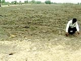Video : 40% Rain Deficit in Madhya Pradesh, Onion Farmers Worried