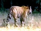 Video : बाघ बचाओ अभियान : सत्यमंगलम का पुनर्जन्म