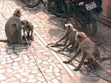 Video : Among Presidential Guard in Vrindavan, There Could be 10 Langurs. Here's Why