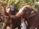 Video : Tamil Nadu's Elephants Are On A Much-Needed Break