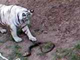 Video : White Tiger, Bitten by Highly Poisonous Cobra, Dies at Indore Zoo