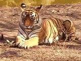 Video: India is Now Home to 70 Percent of the World's Tigers