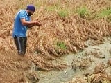 Video : This Year a Dull Baisakhi for Punjab Farmers