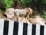 Video : कैमरे में कैद : गुजरात में भारी बारिश के कारण खुलेआम हाईवे पर घूम रहे हैं बब्बर शेर