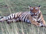 Video: Examining the Social Aspects of Tiger Conservation