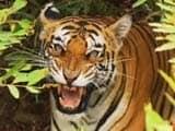 Video: सेव ऑर टाइगर : मध्य प्रदेश के बांधवगढ़ से
