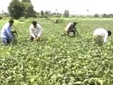 Video : Even Without A Drought, How Farmers in Madhya Pradesh Are Losing Their Crop