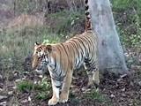 Video: बाघ बचाओ मुहिम : उमरेद टाइगर रिजर्व का जायजा