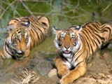 Video : How India Does its Tiger Census