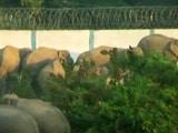 Video : How Development is Killing Assam's Endangered Elephants