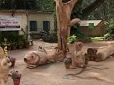Video : In Bengaluru's Cubbon Park, Artists Resurrect Deadwood
