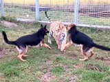 Videos : कभी न देखा, न सुना : बाघों और कुत्तों के बीच है 'असंभव' दोस्ती