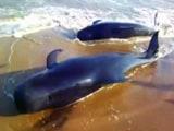 Video : समंदर के तट पर दिखीं 100 से अधिक व्हेल मछलियां!