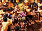 Video : Jallikattu, Bull-Running Fest Championed By Politicians, Stopped For Now