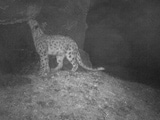 Video : Cameras Trap First Evidence Of Snow Leopards In Sikkim