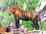 Video : सेव अवर टाइगर्स : बीआर हील्स में बाघों की तादाद लगातार बढ़ रही है