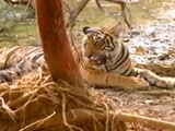 Video: Highlights of Save Our Tigers Campaign: Season 4