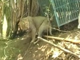 Video : Watch: Lion Rescued From 100 Feet Dry Well In Gujarat