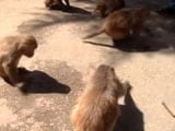 Video : Monkeys Declared 'Vermin' In Himachal To Allow Culling