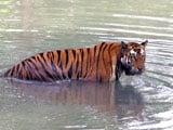 Video : बाघों के लिए ख़तरा बन सकती है केन-बेतवा नदियों को जोड़ने की परियोजना