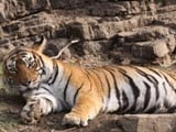 Video : Machhali, The Iconic Tigress From Ranthambore, Dies
