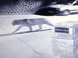 Video : Leopard Scare Grips Mussoorie With Twin Sightings In A Week