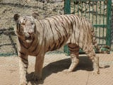 Video : White Tiger Finds Home In Udaipur Zoo. But He Understands Only Tamil