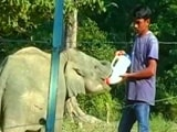 Video : Assam's Elephants At Risk As Man-Animal Conflict On The Rise