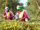 Video : Note Ban Deadline Ends, Ordeal Of Assam's Tea Garden Workers Continue