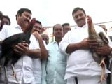 Video : Despite Ban, 'Recreational Sport' Cockfight A Huge Hit In Andhra Pradesh