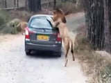 Video : When A Lion Got Up Close And Personal With Car Full Of Tourists