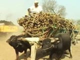 Video : UP Election 2017: In Sugar Belt, Farmers Sour About Cane Dues