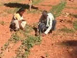 Video : Karnataka Drought: 7 Borewells, But This Family Struggles To Grow Vegetables